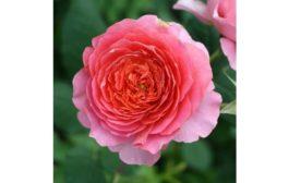 Angol rózsák a kertek királynői